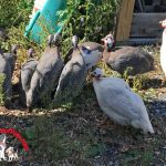 Life with Guinea Hens – Story 4