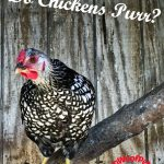 Do Chickens Purr?