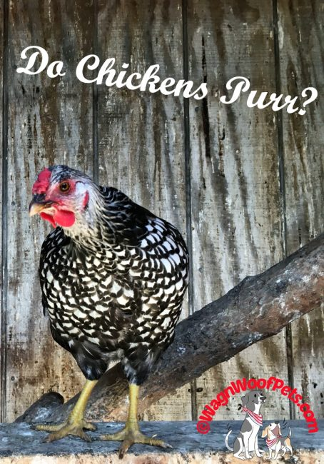 Do Chickens Purr?