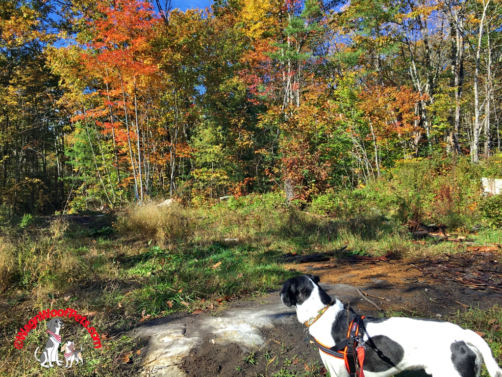 Lab Mix Luke Enjoys an Autumn Walk