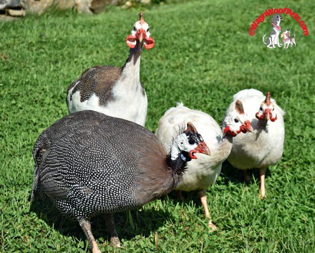 The Guinea Hen Boys
