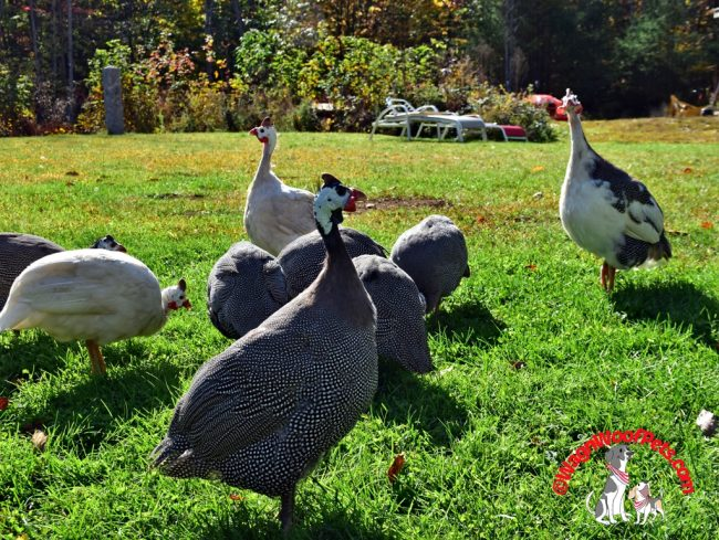 Guinea Hens Free Ranging