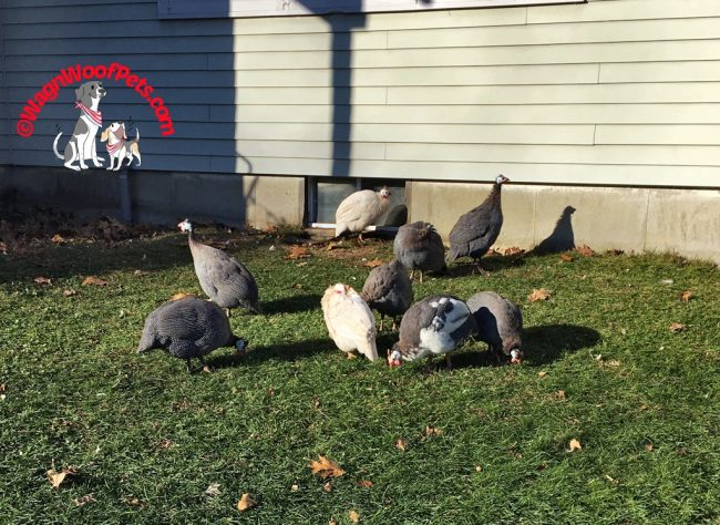 The Guinea Hen Gang