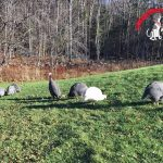 Life with Guinea Hens – Story 5