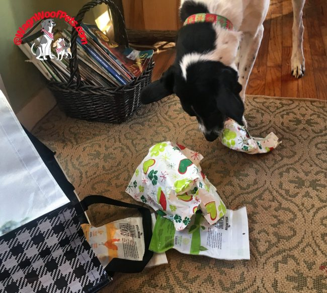 Lab Mix Opens Christmas Gifts