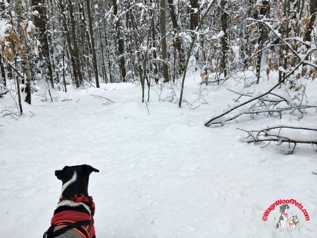 Lab Mix Luke on Winter Trails