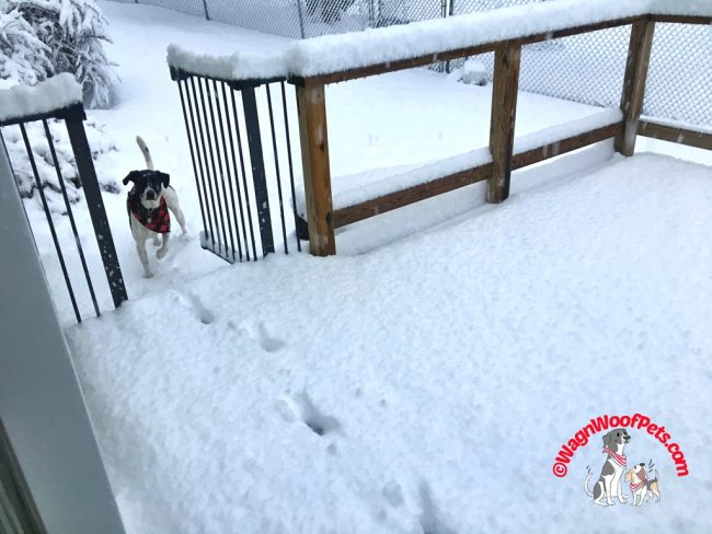 Lab Mix Luke Loves a Snowstorm
