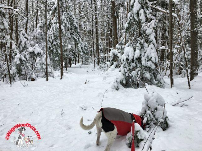 Lab Mix Luke Explores the Winter Woods