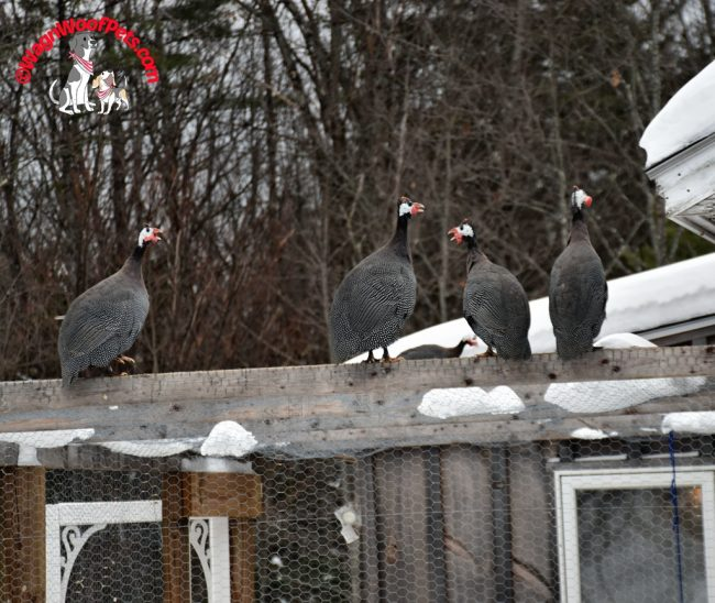 Guinea Hens on the Chicken Run