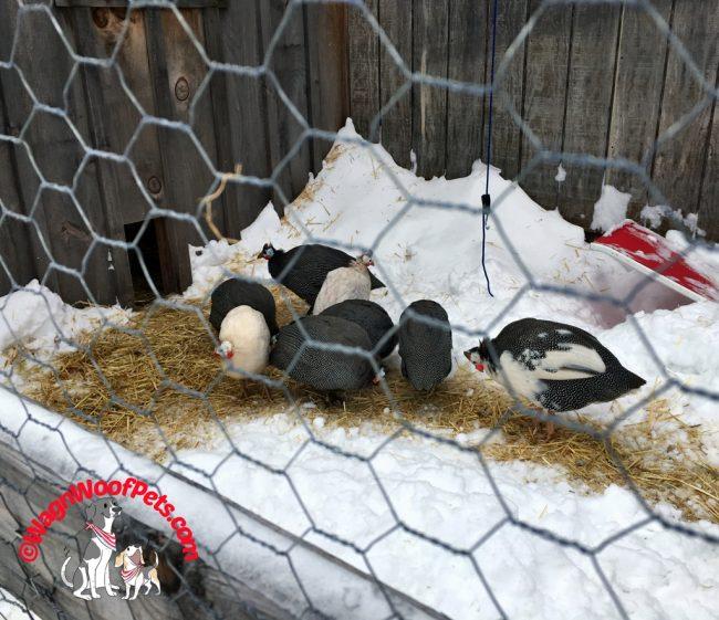 Guinea Hens Uncooped