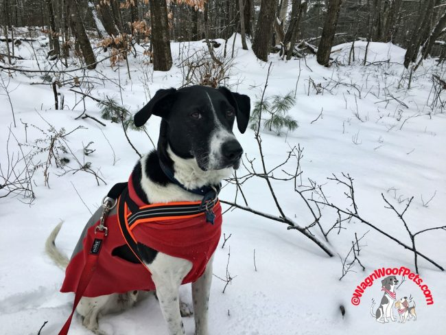 A Snowy Walk in the Woods for Lab Mix Luke