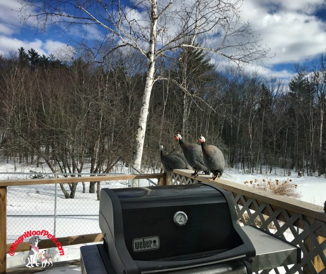 Guinea Hens on the Loose