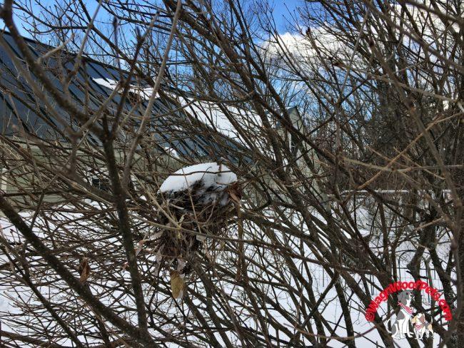 Birds' Nest in Lilac Bush