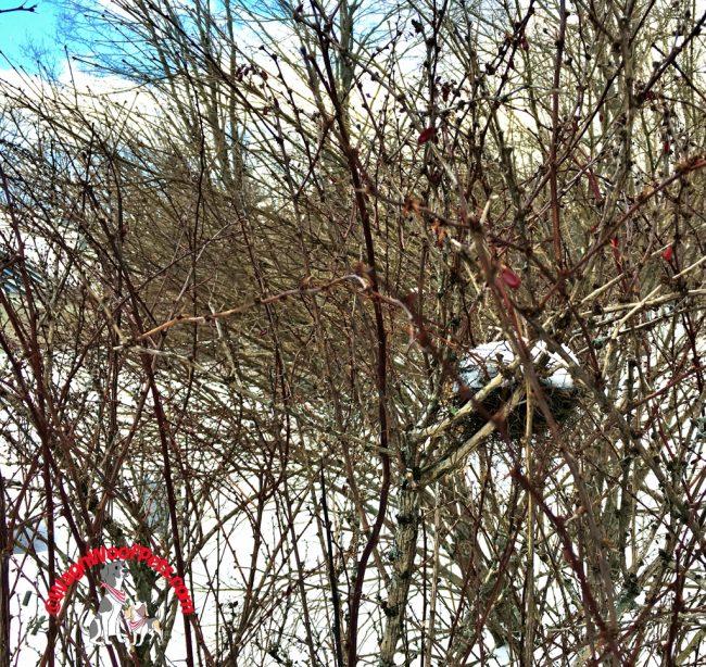 Bird's Nest in Barberry Bush