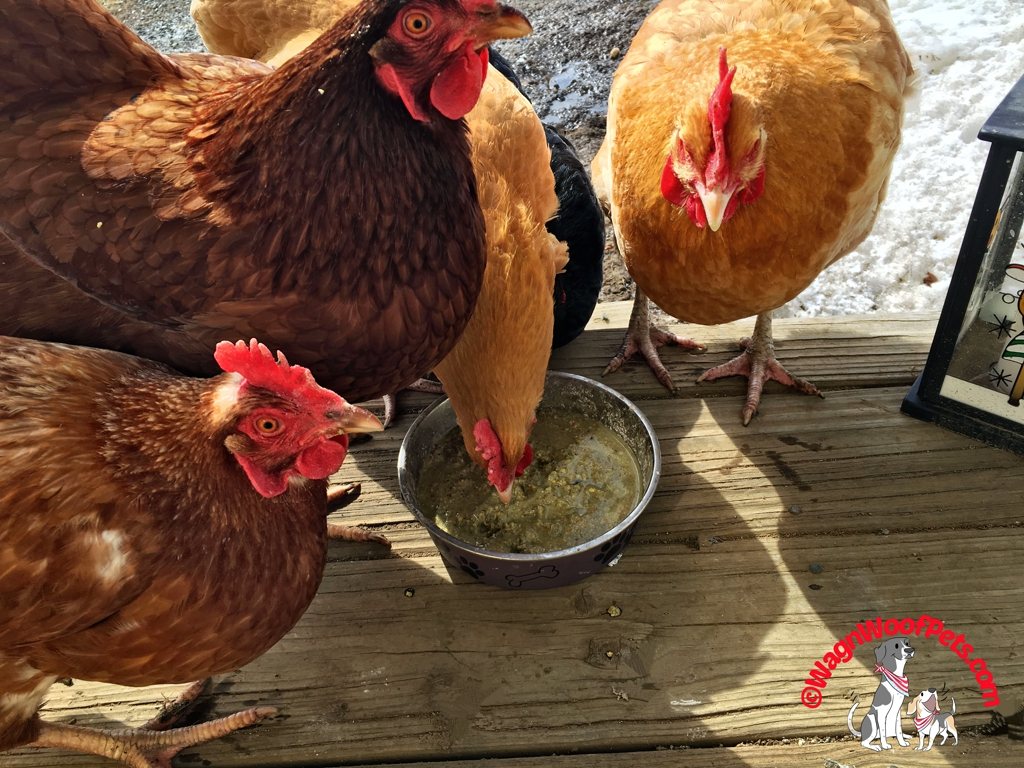Spring Treat for the Hens