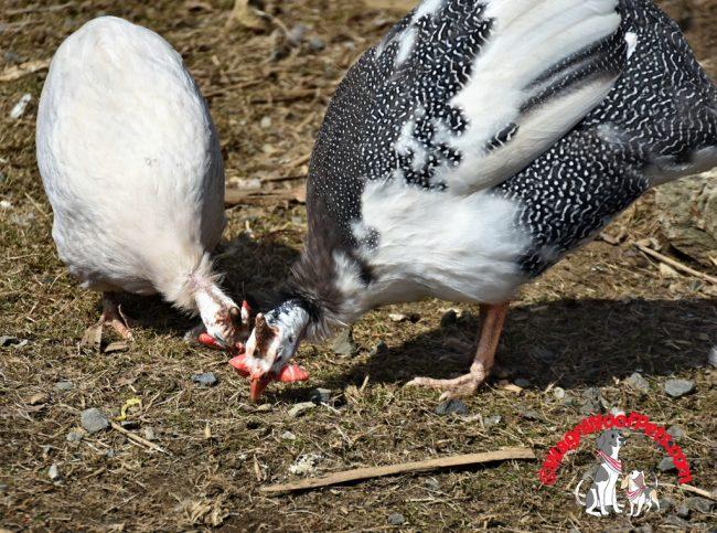 Guinea Hens Eating Bugs