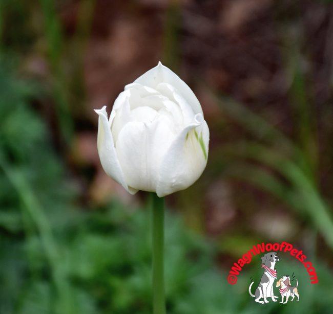 Lone White Tulip