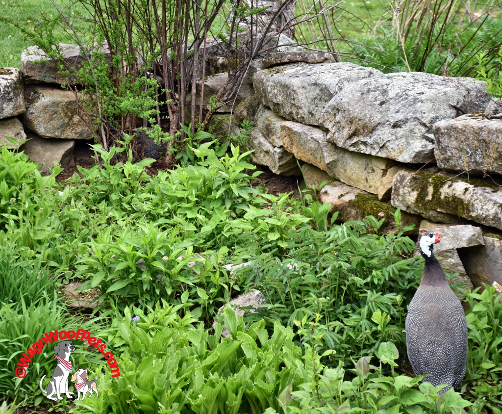 Life with Guinea Fowl