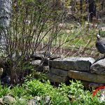 Guinea Hen Guarding Nest