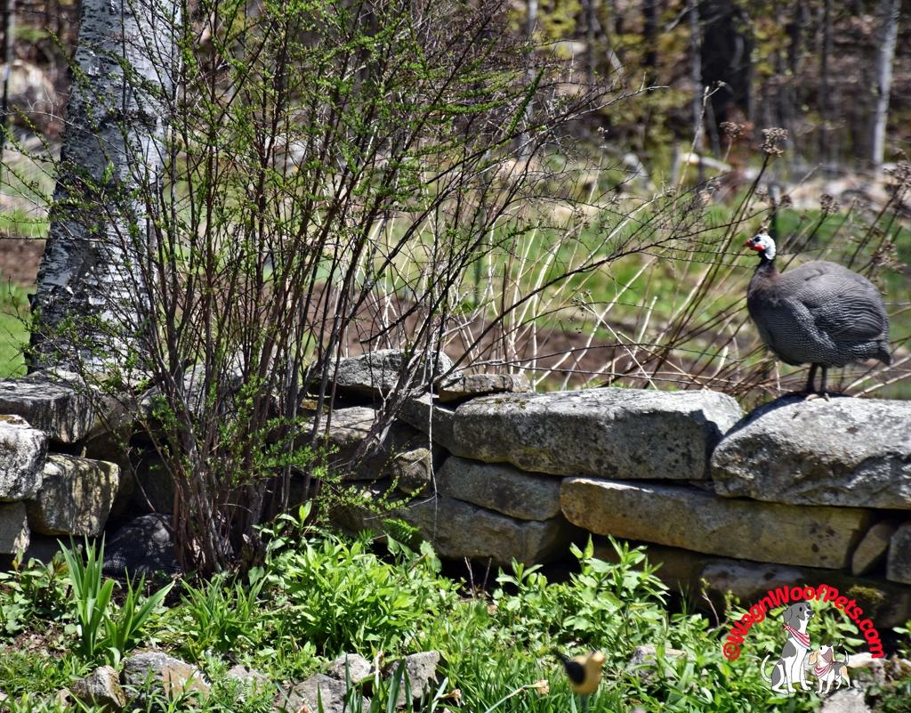Guinea Hen Guarding Nest
