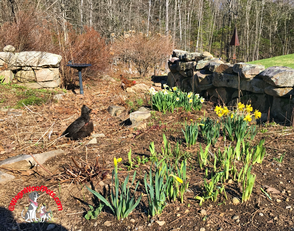 Chickens and Daffodils