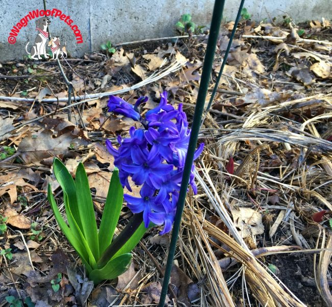 Nature Friday - Hyacinth