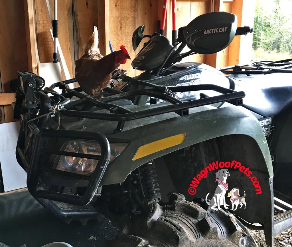 4-Wheeling Chicken