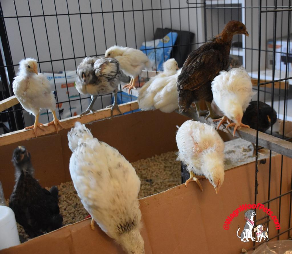 4 week old chicks