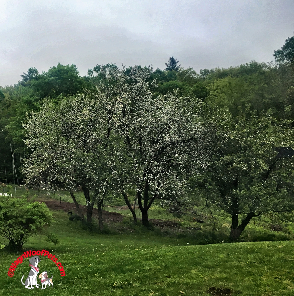 Apple Trees in Bloom on the Farm