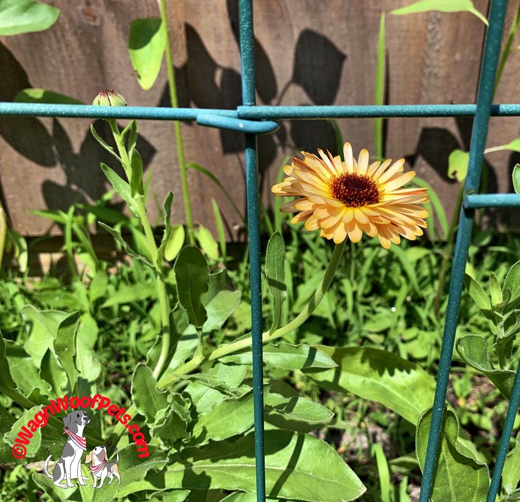 Calendula Bloom
