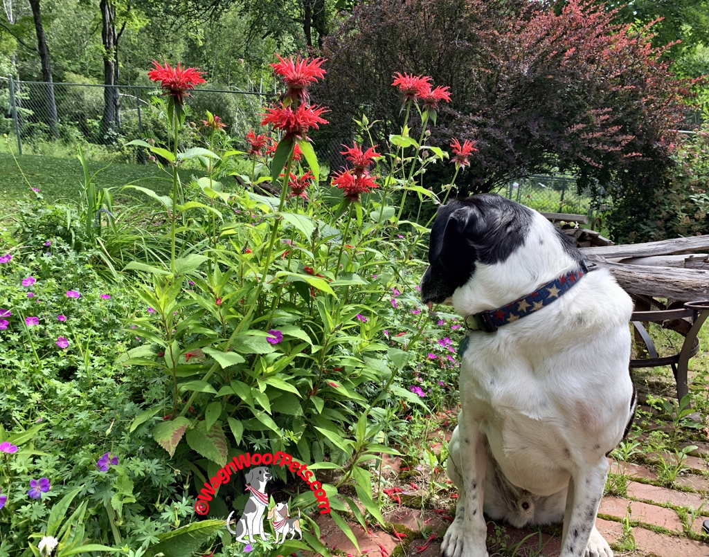 Lab Mix Luke Shows Off his Bee Balm