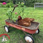 Plant a Chicken