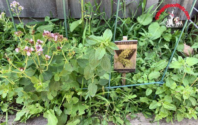 Herb Garden - Oregano