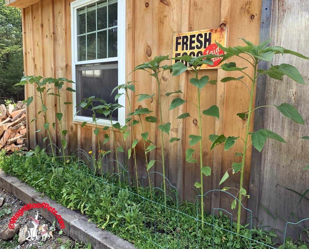 Chicken Coop Herb Garden