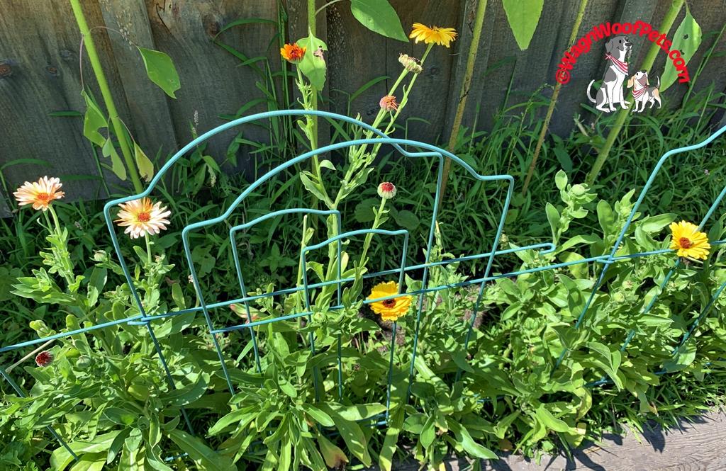 Calendula in the Chicken Coop Herb Garden