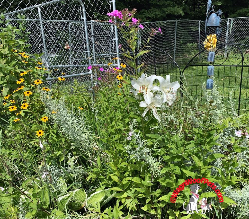 True White Lilies on the Farm