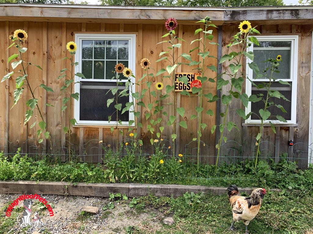 Sunflowers by Chicken Coop