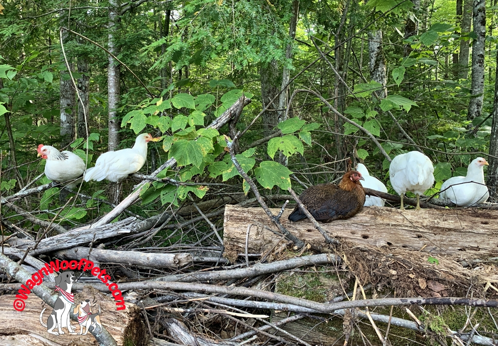Chickens Roosting on Brush Pile