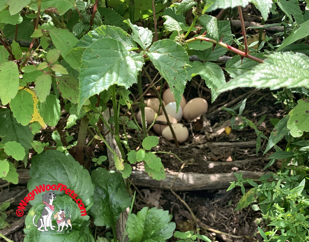 Guinea Hen and Chicken Nest