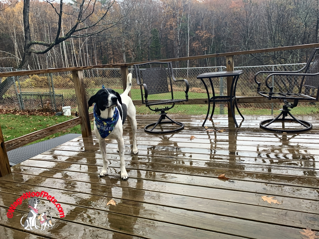 A Rainy Birthday for Lab Mix Luke