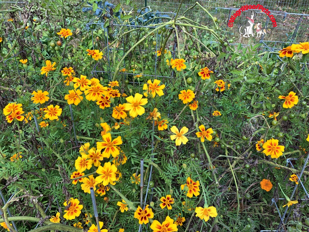 Marigolds on the Farm