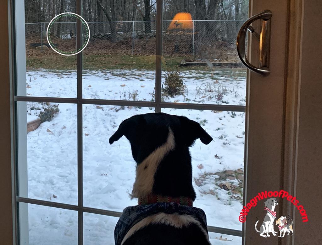 Lab Mix Luke Watching Deer