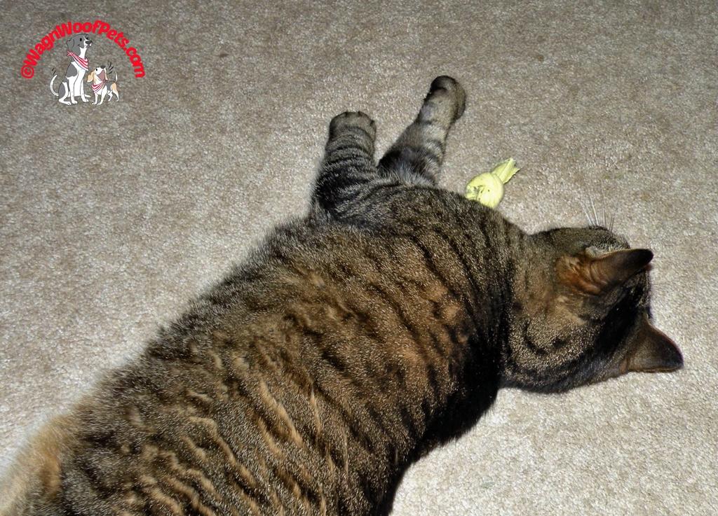 Nina Sleeps Off Her Catnip Buzz