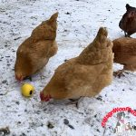 Farm Birds Love Christmas Too!