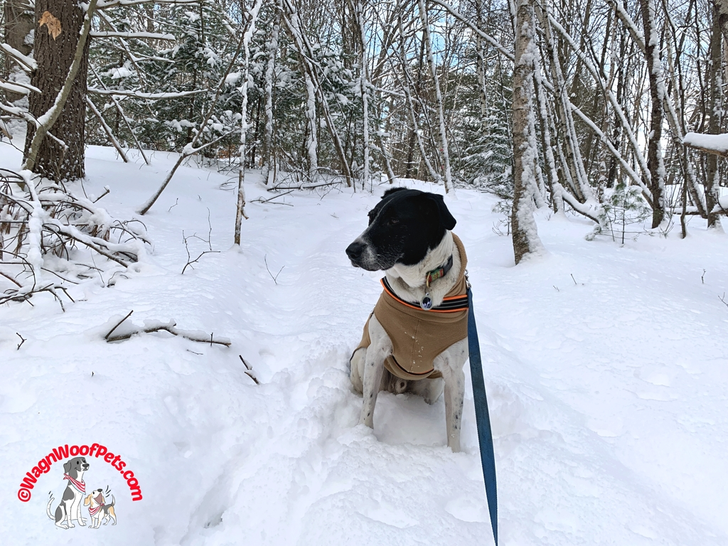 A Walk in the Snow with Lab Mix Luke