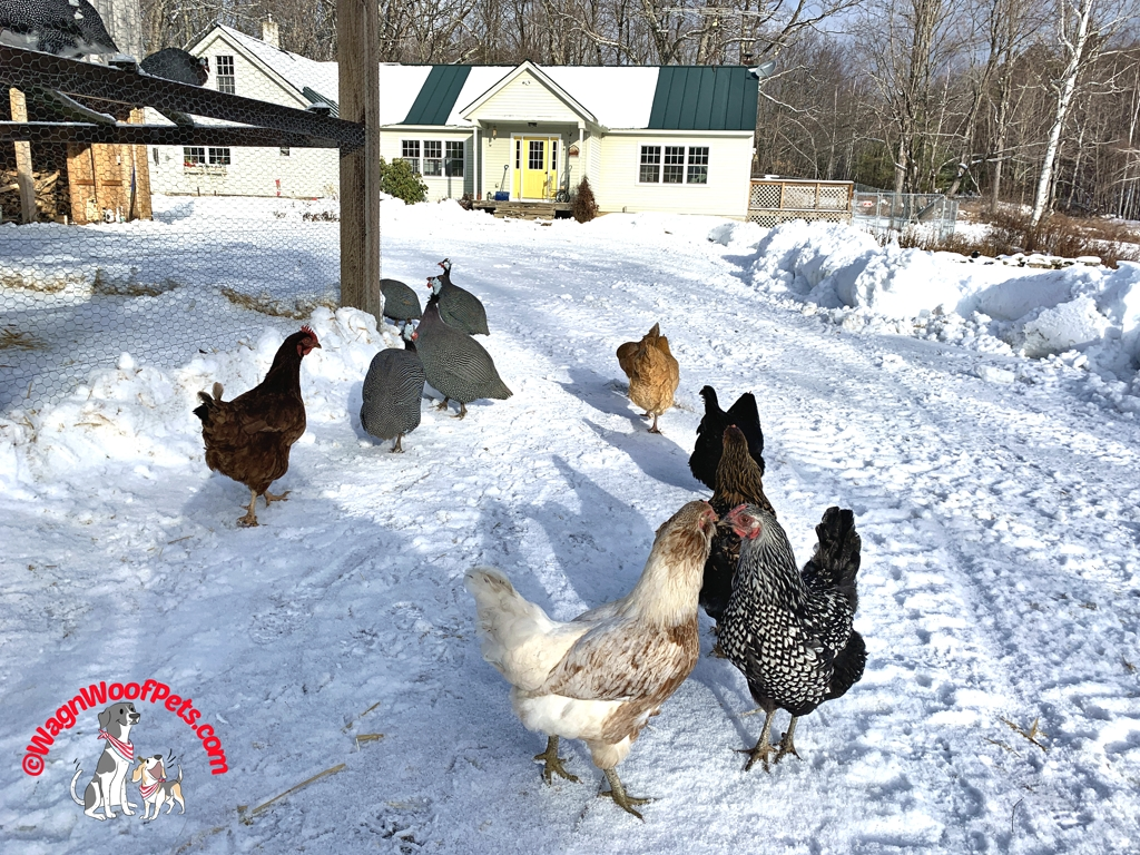 Release the Hens!