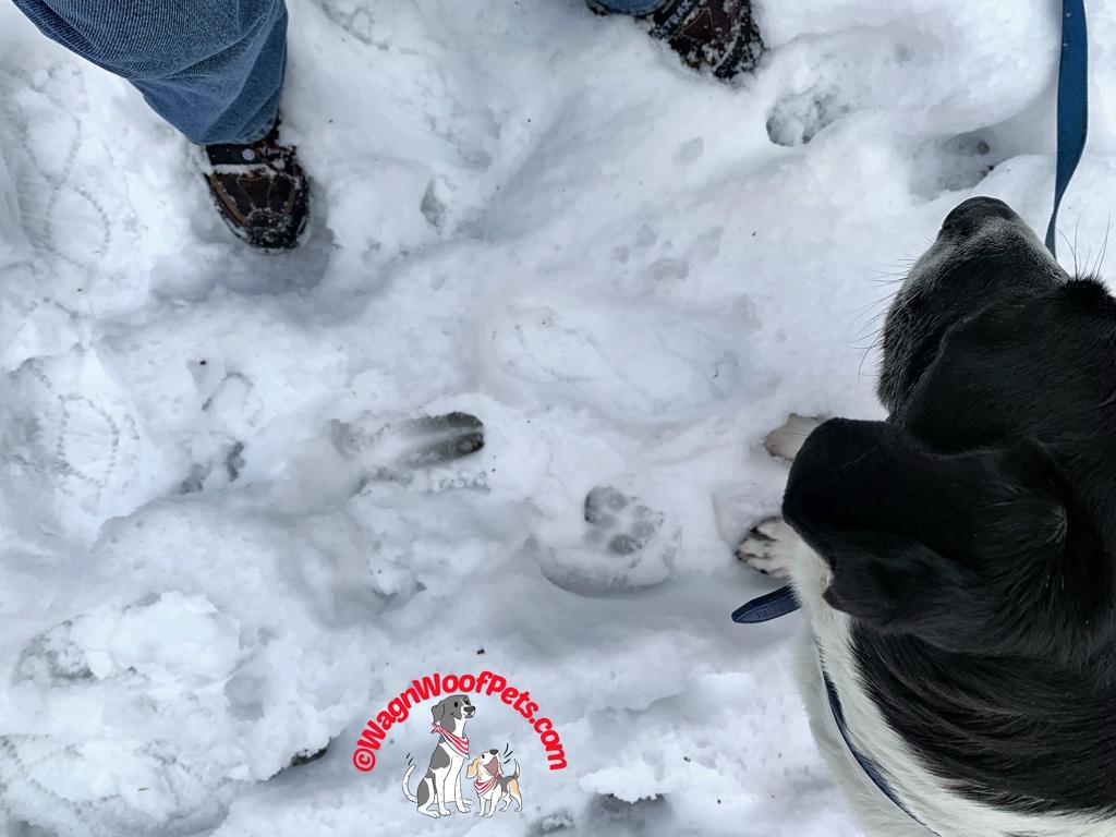 Human, Deer, & Dog Tracks