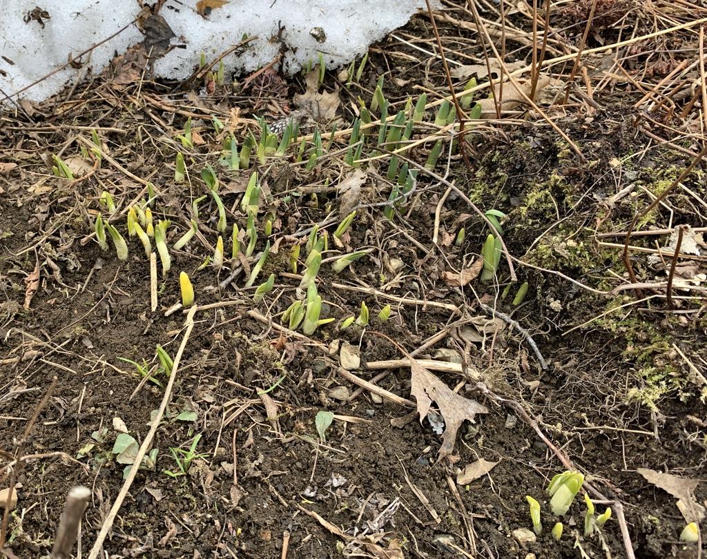 Daffodils Popping Up