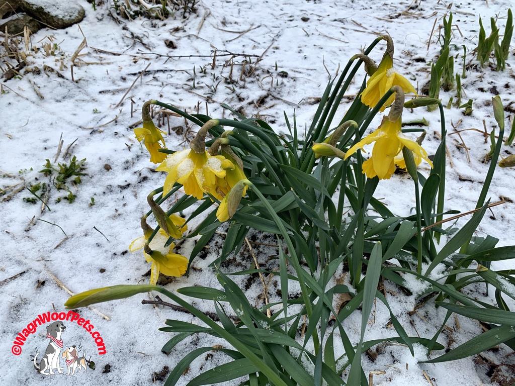 Snow on Daffodils