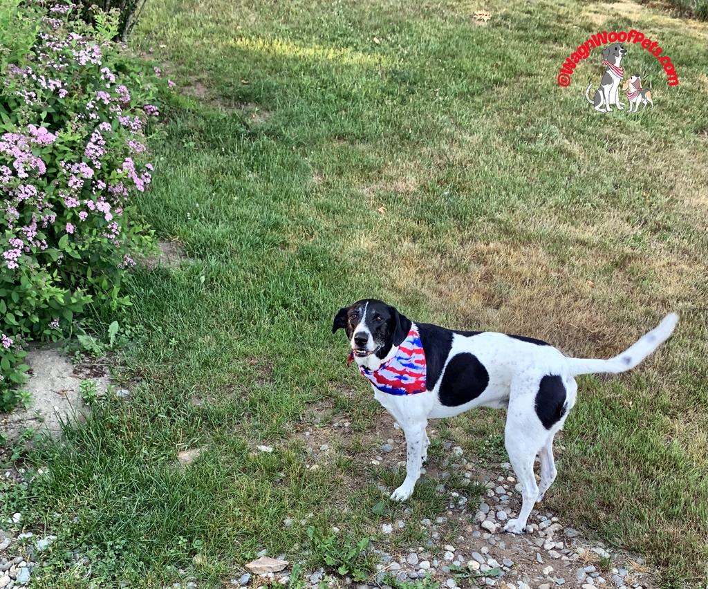 Patriotic Dog Gear
